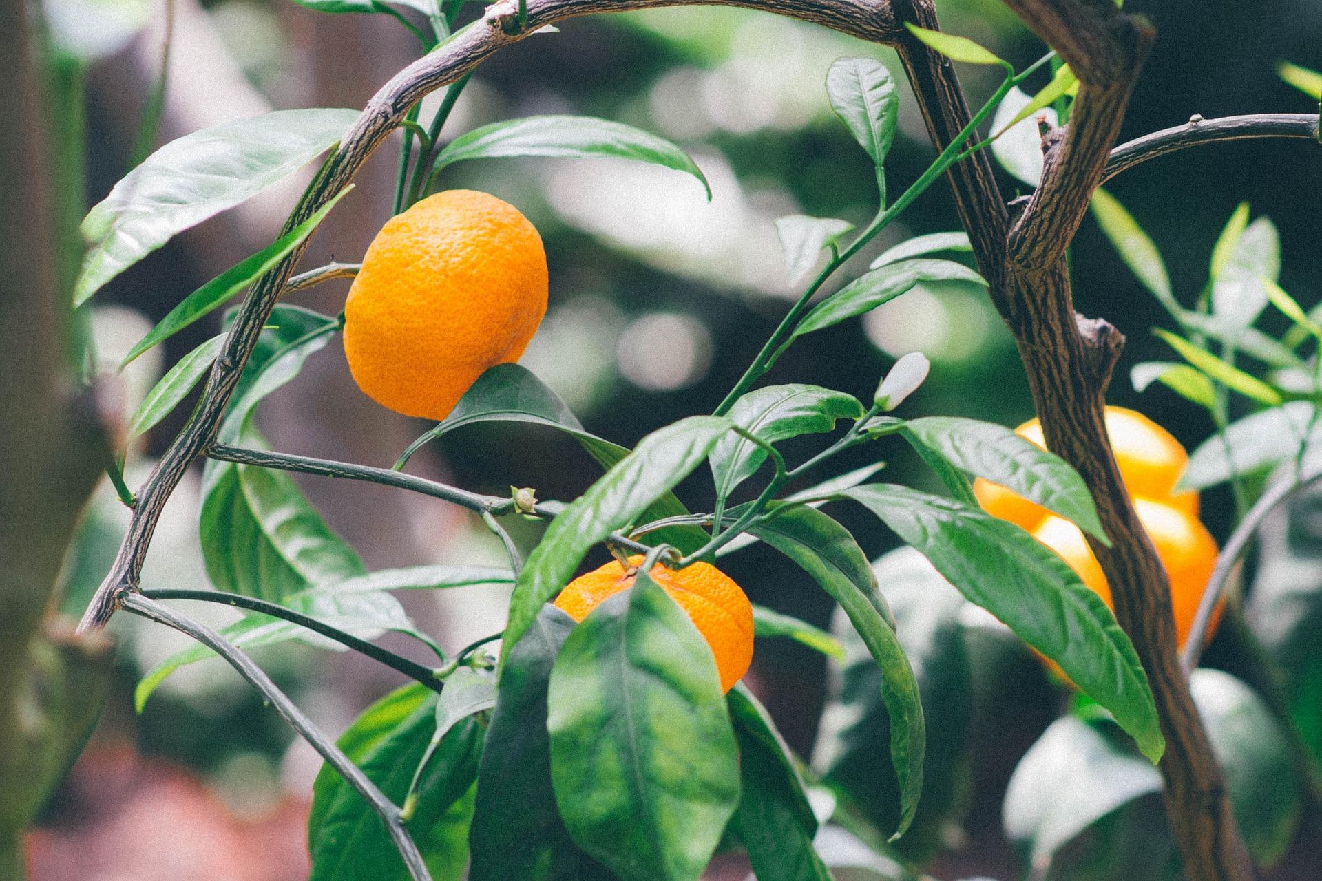 citrusiniu augalu prieziura